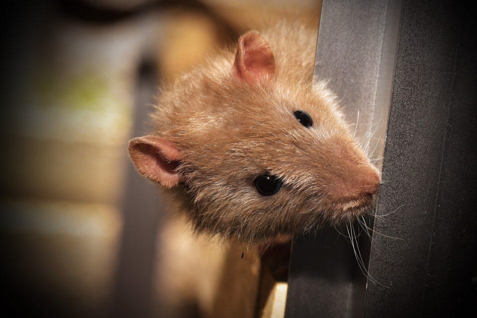 Control de plagas en el hogar y negocios en Mallorca para eliminar ratones